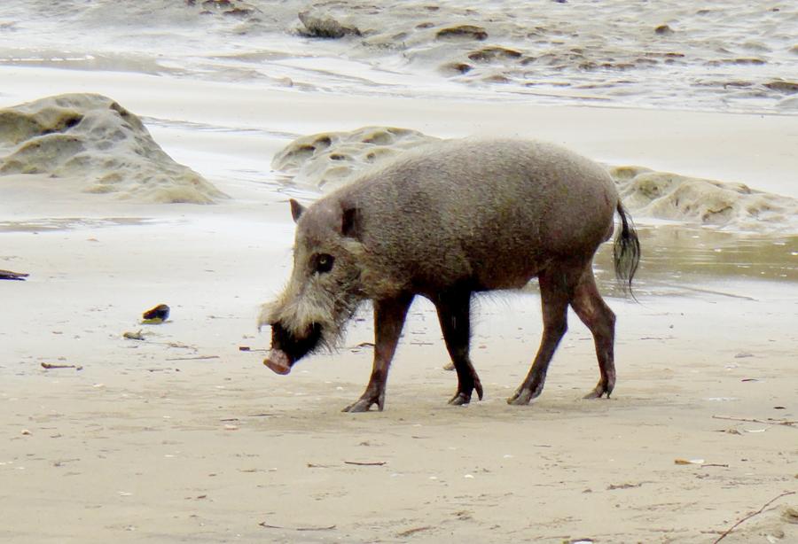 婆罗洲须猪