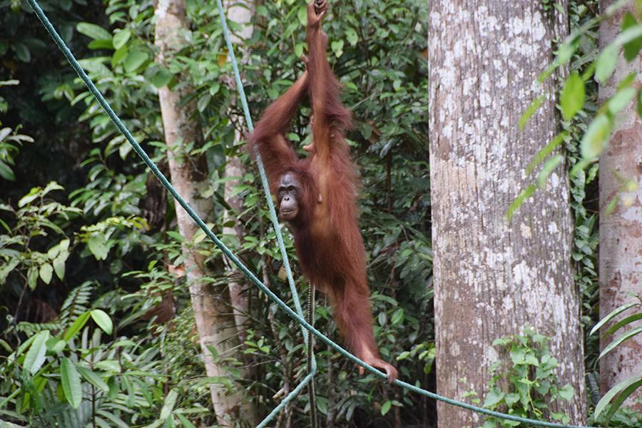 婆罗洲人猿